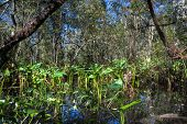 stock photo of swamps  - Everglades Landscape reflecting in a swamp Florida - JPG