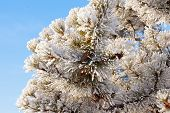 Winter Pine Tree Detail Hoar Frost Snow Covered