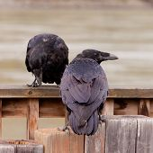 Two Common Ravens Corvus Corax Interacting