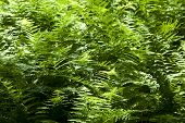 Beautiful Fern In Dense Forest