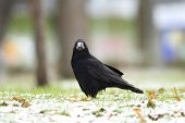 Corvus Frugilegus In The Park