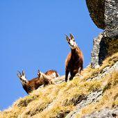 Chamois (rupicapra Carpatica) In Mountain High Tatras, Poland