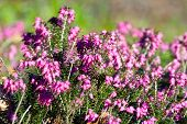 picture of ling  - Blooming heather flowers in the garden, close up