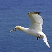 pic of gannet  - An adult Northern Gannet  - JPG