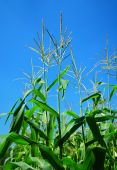 picture of corn stalk  - Green corn field with corn stalks and leaves - JPG