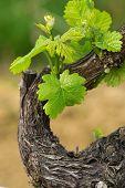 Grapes In Spring