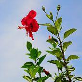 red hibiscus (hibiscus rosa-sinensis)
