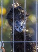 Rhea With Intensely Blue Beak Looks Behind Iron Bars