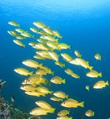 picture of school fish  - School of yellow fish on blue background  - JPG