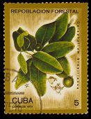 CUBA - CIRCA 1975: A Stamp printed in CUBA, shows Clusiaceae Gut