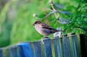 House Sparrow On A Fence.