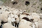 picture of cashmere goat  - Herd of sheep and kashmir  - JPG