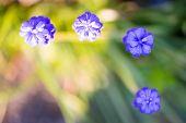 three blue grape hyacinth with bird's eye view in garden