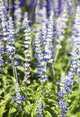 picture of hyssop  - Purple flowers of Hyssopus officinalis  - JPG
