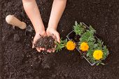 pic of rich soil  - Overhead view of a small childs hands cupping rich brown earth while learning to transplant colorful yellow and orange marigold seedlings into the garden - JPG