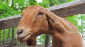 stock photo of billy goat  - A curious goat learns about the other side of the fence