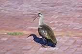 Mature Hadeda Ibis Resting On Patterned Paved Walkway