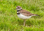 foto of killdeer  - Killdeer standing on the ground in the grass - JPG