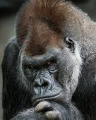 pic of lowlands  - Frontal Portrait of a Western Lowland Gorilla - JPG