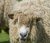 Cotswold Lion Sheep