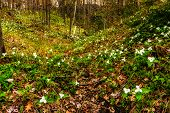 stock photo of trillium  - Wide angle photography of White Trilliums growing in a valley - JPG
