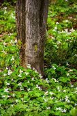 foto of trillium  - A large bed of white trilliums blooming at the base of a tree - JPG