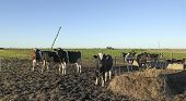 stock photo of pampa  - cows with black and brown stains on the American pampas - JPG