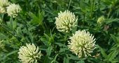Large Flowering White Clover Plant