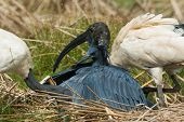 A Black Egret (egretta Ardesiaca) Poking Its Head Out From Under Its Wings And Finding It Is Surroun
