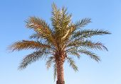 Date Palm Tree On Clear Blue Sky Background
