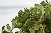 stock photo of prickly pears  - Barbary Fig plant  - JPG