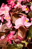 Small pink garden flowers macro