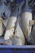 Baby Sharks For Sale At Market, Goa, India