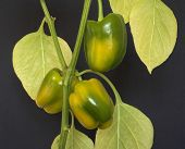 Bell Peppers Ripening poster