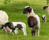 image of spring lambs  - sheep and lamb - JPG