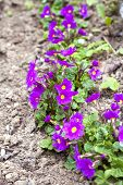 Purple Primroses (primula Vulgaris) In Spring