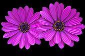 Asteraceae,purple daisies