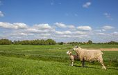 pic of dike  - Sheep on a dike along the dollard route Germany - JPG