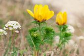 stock photo of adonis  - The Yellow flowers of Adonis  - JPG