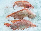 Fresh Red Fish