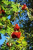 stock photo of ash-tree  - Autumn berries on a Mountain Ash  - JPG