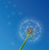 image of wind blown  - vector illustration of dandelion seeds blown in the wind - JPG