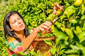 Beautiful woman picking Clementines