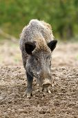 stock photo of boar  - wild boar at a hunting farm  - JPG