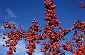 Scarlet Berries Against a Blue Sky