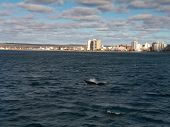 picture of whale-tail  - A Southern Right Whale tail with the backdrop of Puerto Madryn Argentina - JPG