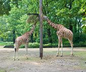 Two Girafes