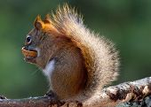 Red Squirrel with a Nutshell