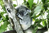 Cute Koala on the tree