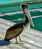 Pelican on a Dock